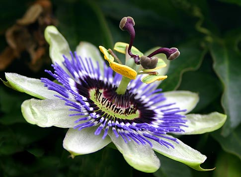 Passion-Flower-Story-Benefits-Side-Effects-Pictures
