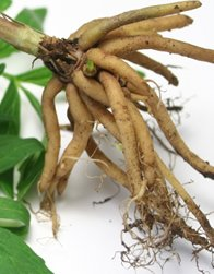 valerian root benefits for humans
