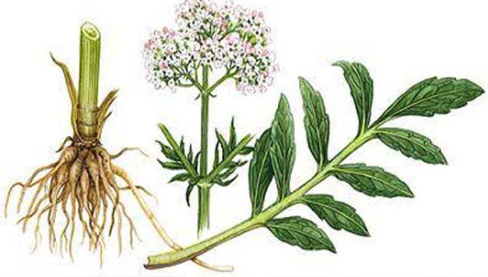 Valerian Root Usesr Depression Headaches Muscle Pain