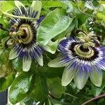 passion flower extract-how to extract