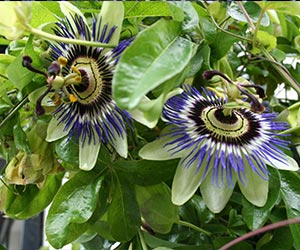Passion Flower Story Benefits Side Effects Pictures