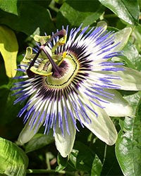 passion-flower-picture-story