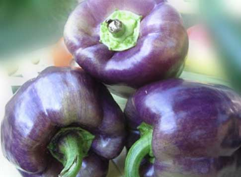 Purple Bell Pepper, Nutrition Benefits, Calories When To Harvest