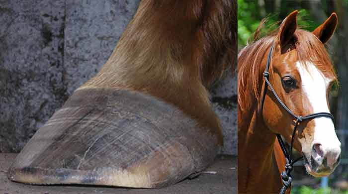 biotin for horse hooves hair