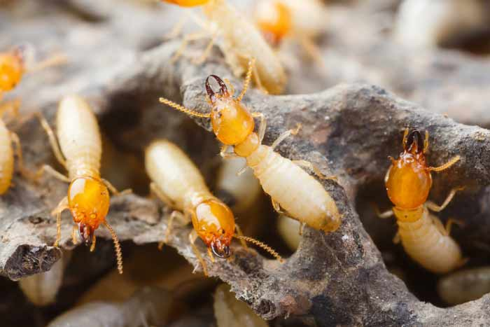 pictures of  what termites look like